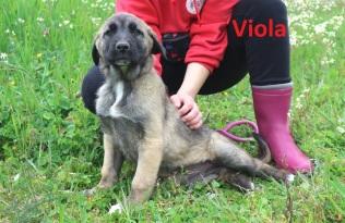 Viola (1)