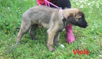 Viola (5)